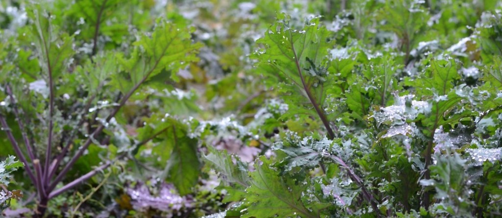 Best-Crops-to-Grow-in-Cold-Weather