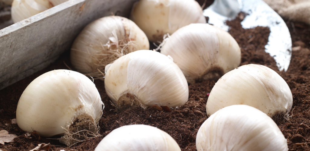 Grow-Your-Own-Antioxidants-Onions