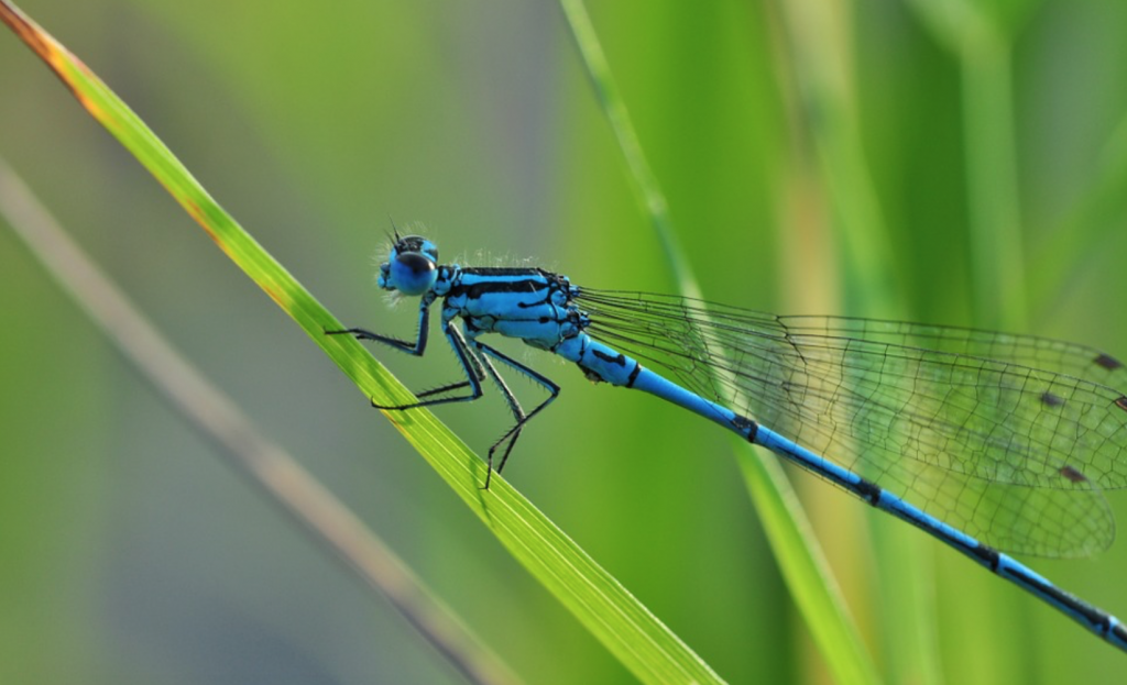 Beneficial-Bugs-for-Gardens-Dragonflies