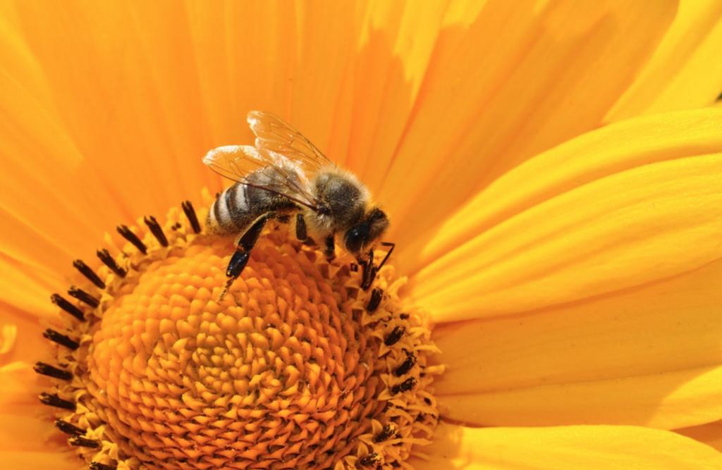 Beneficial-Bugs-for-the-Garden-Bees