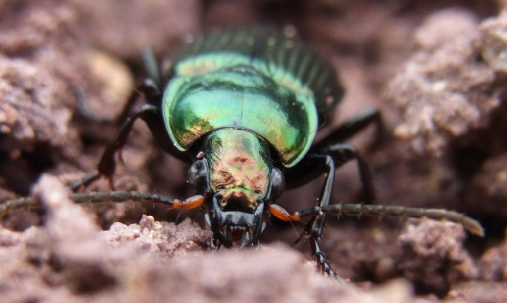 Beneficial-Bugs-for-the-Garden-Ground-Beetle