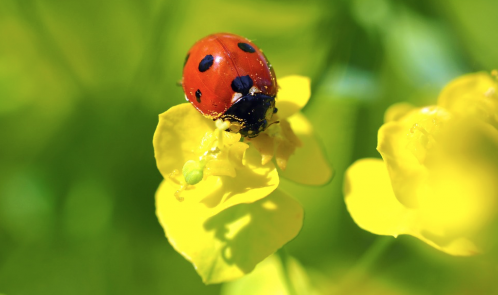 Beneficial-Bugs-for-the-Garden-Ladybugs