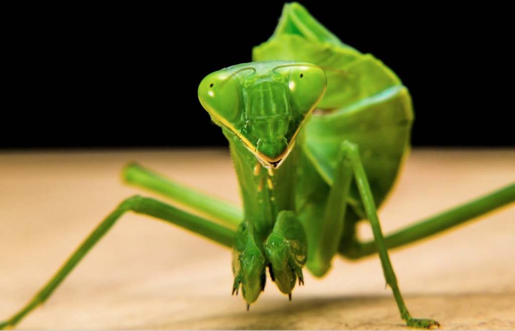 Beneficial-Bugs-for-the-Garden-Praying-Mantis