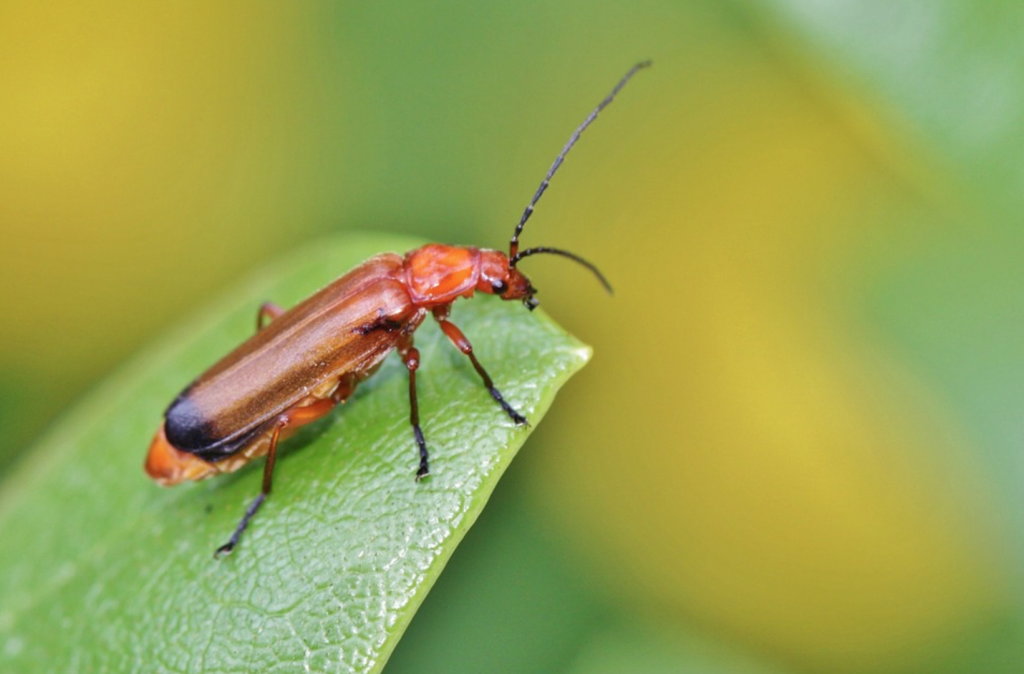 Beneficial-Bugs-for-the-Garden-Soldier-Beetles