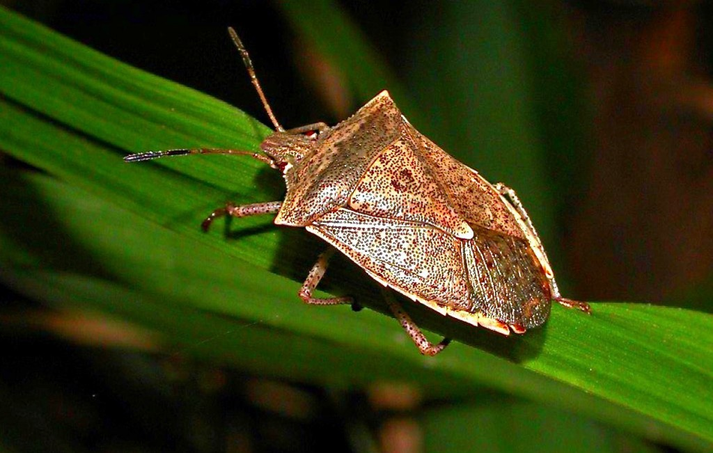 Beneficial-Bugs-for-the-Garden-Spined-Soldier