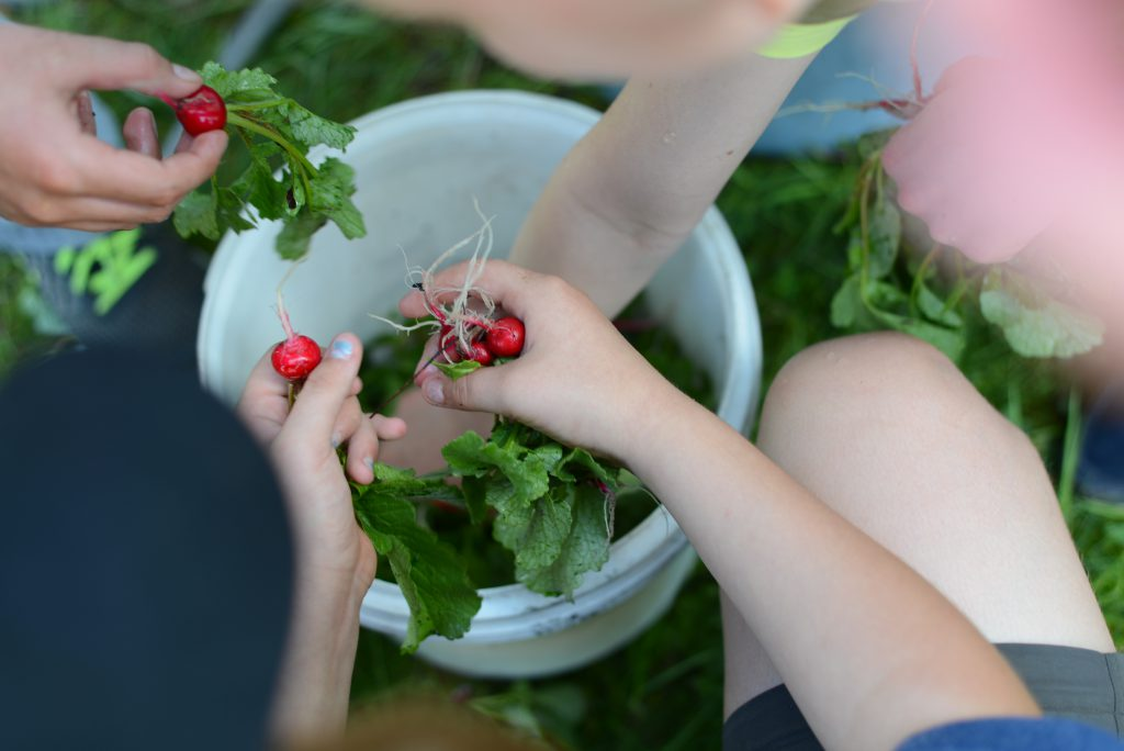 Kids harvesting their radishes