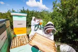 2 Beekeepers Working in Apiary