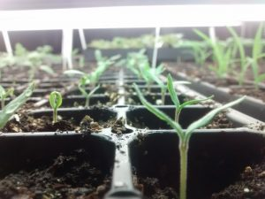 Seedlings in tray