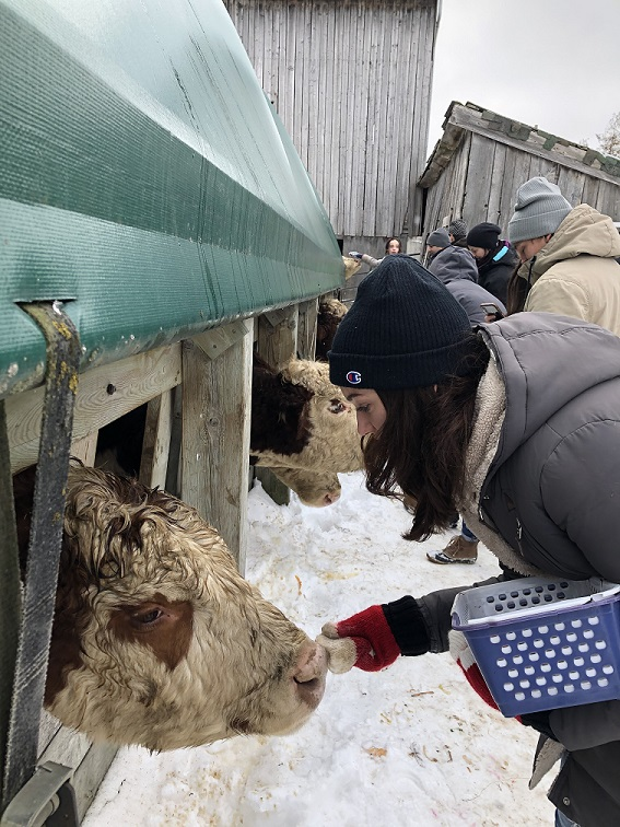 Rachel Parent feeding a cow.