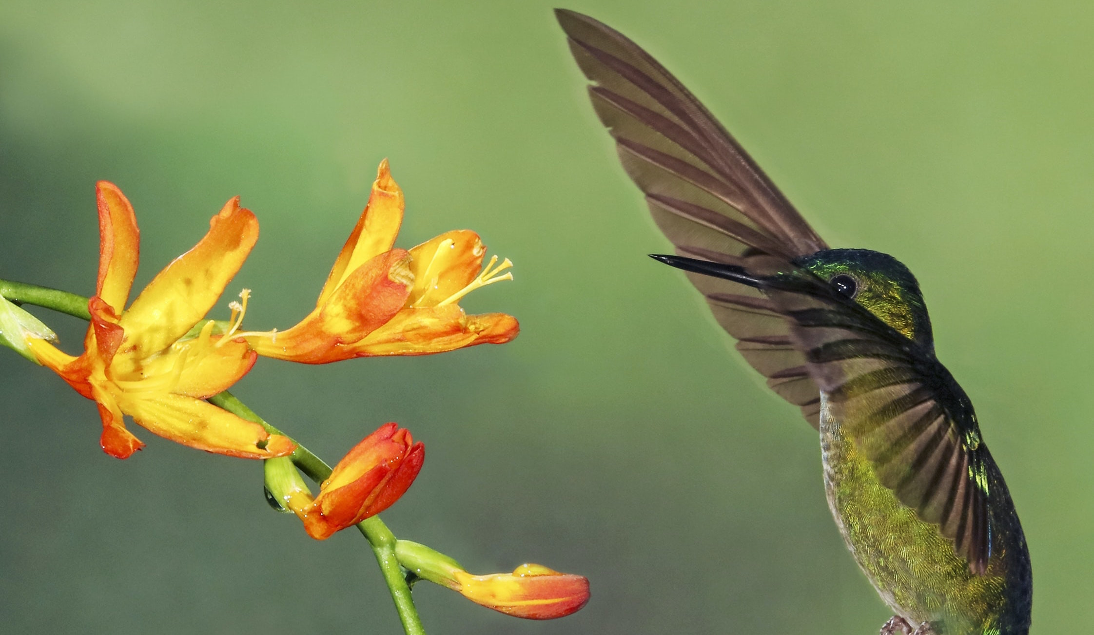 Top Ten Coolest Pollinators - Hummingbird